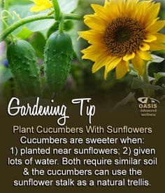 Gardening Tip: Plant Cucumbers With Sunflowers  Cucumbers are sweeter when: 1) planted near sunflowers; 2) given lots of water. Both require similar soil & the cucumbers can use the sunflower stalk as a natural trellis.