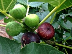 """Fig: """"Here is a rural fellow That will not be denied your highness presence: He brings you figs."""" - Antony & Cleopatra"""