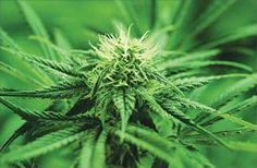Washington can now recall and destroy marijuana products for pesticides, other reasons http://dld.bz/ewHsu
