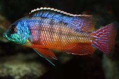 "The Protomelas taeniolatus (Red), or Super Red Empress cichlid. A popular Haplochromis from lake Malawi which features bright blue and red colors. These fish are more mild mannered than some other Haps and Mbuna from Lake Malawi. Super Red Empress cichlids get to be up to 9"" in length and mix well with other semi-aggressive Haps and Peacock cichlids."