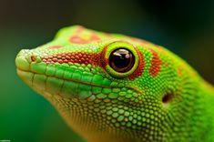 Madagascar Day Gecko (Pheisuma madagascariensis), photo by nakkimo Geckos, Lizard Dragon, Paludarium, Vivarium, Animal Sketches, Reptiles And Amphibians, Wild Nature, Exotic Pets, Animal Photography