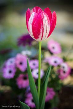 Tulip by WindyLife on DeviantArt