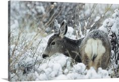 Philippe Henry Premium Thick-Wrap Canvas Wall Art Print entitled Mule Deer In Snow, Rocky Mountain National Park, Colorado, None