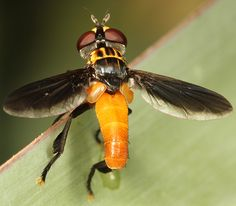 feather legged fly - Trichopoda
