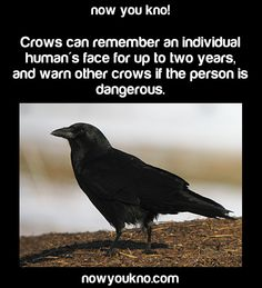 True, and they'll teach their young who's dangerous too. Some fascinating research has been done. Crows are brilliant.