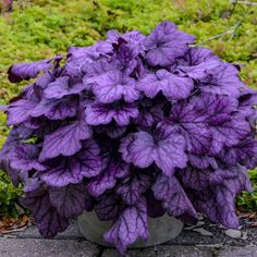 "Flower Garden Ten Positively ""Purple"" Plants You'll Love Purple Plants, Purple Garden, Shade Plants, Shade Garden, Purple Perrenial Flowers, Front Yard Landscaping, Landscaping Ideas, Townhouse Landscaping, Luxury Landscaping"