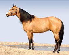 Buckskin Quarter Horse Stallion, PC Frosty Bid