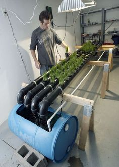 Francisco Kjolseth | The Salt Lake Tribune Brandan Coleman attends to his basement garden in Salt Lake City where he is growing wheatgrass, broccoli and lettuce using a new urban-farming technique known as aquaponics that uses fish to better produce crops. Coleman has started a nonprofit known as Americana to spread the technique throughout the Salt Lake Valley.