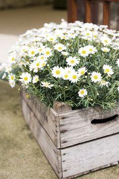 Shasta Daisies - Lazy Daisies by Live Mulch daisy Love them in the wood box! Diy Horta, Shasta Daisies, Daisy Love, Pot Jardin, Diy Garden Decor, Elie Saab, Planting Flowers, Flowers Garden, Flowers In Planters