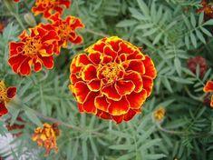 Отвар БАРХАТЦЕВ 100 болезней лечит! Цветут везде простые цветы, а цена им ЗОЛОТО!