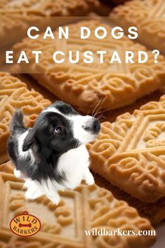 Can dogs eat custard? No, dogs should not eat custard, although it will not likely be fatal for them. Custard contains lactose, saturated fats, and sugars, all of which are not good for your dog's health because it can cause stomach upset, weight gain, and dental problems. What Should I Do If My Dog Eats Custard? Check the list of ingredients for anything toxic such as chocolate or xylitol. Then try to determine how much your dog has eaten. Next, give your veterinarian a call. . If there is