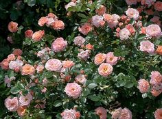'The Apricot Drift® Rose' | Star Roses & Plants...Double apricot colored flowers begin blooming in spring and display a season-long show of color. It is just as tough and disease resistant as others in the series. Best suited for small gardens or along paths and walkways. 1 1/2' tall x 2 1/2' wide.