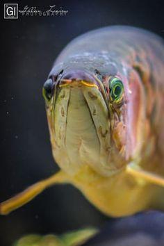 Arowana by Gillian Lazarus / Oscar Fish, Dragon Fish, Beautiful Fish, Good Morning Wishes, Freshwater Fish, Skull Art, Fresh Water, Art Reference, Aquarium
