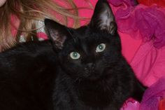 Ink is an adoptable Domestic Short Hair Cat in Troy, MI. Hi! My name is Ink! I was born July 1, 2011, so I am very young. My brother Cheers and I are both looking for lifelong, loving homes. We love e...