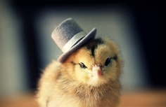 Adorable Baby Chicks Wearing Funny Little Hats. Do you like the chicks?
