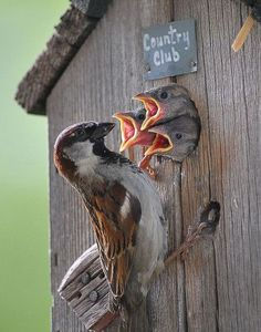 Not everybody likes to see house sparrows in their nest boxes, but to me, a bird is a bird is a bird!