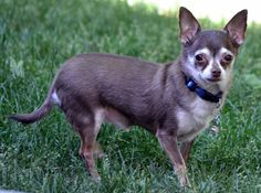 Hi my name is Java Bean Koda Burchfield. I am a chihuahua. I am a 7 year old puppy mill survivor. National Mill Dog Rescue rescued me from a puppy mill in St. Louis, Missouri. My mother adopted me from NMDR on August 2, 2011. I am a mommas boy!