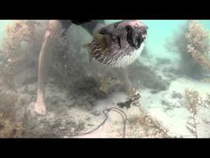 Porcupinefish Refuses to Abandon Ensnared Best Friend | Atlas Obscura
