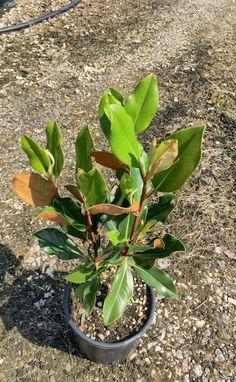 Magnolia Gallosiniensis Compacta