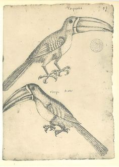 Birds Sketch Drawing  Vintage  Toucan Maranhao  Brazil by carambas
