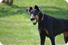 Lake Odessa, MI - Doberman Pinscher Mix. Meet Jude, a dog for adoption ...