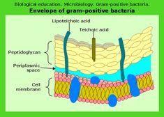 Microbiological educational diagram sample: Cell envelope of gram-positive bacteria.