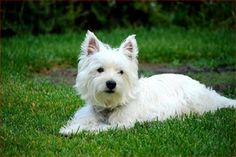 West Highland White Terrier - Breed Profile:    Origin: Scotland  Colors: White  Size:  Type of Owner: Novice  Exercise: Vigorous  Grooming: Regular  Trainability: Can be slightly difficult to train  Combativeness: Not generally dog-aggressive  Dominance: Moderate  Noise: Likes to bark