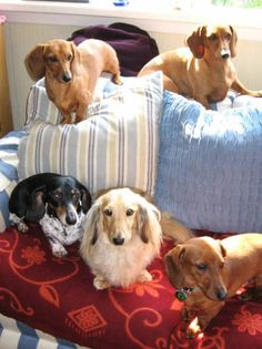 "A ""Floc-O-Dachs"". There is no such thing as too many. Only have two, myself, but the house is open to as many as find their way in.... SO MUCH LOVE in Dachshunds!"