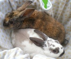 Rabbits for sale! Flemish Giants, Lionheads, Holland Lops and more! Mini Rex Rabbit, Mini Donkey, Giant Rabbits For Sale, Flemish Giants, Teacup Piglets, Flemish Giant Rabbit, Pet Bunny Rabbits, Mini Goats, Pets For Sale