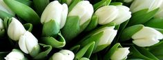 White Tulip Beautiful Flower Picture for Facebook Free Download