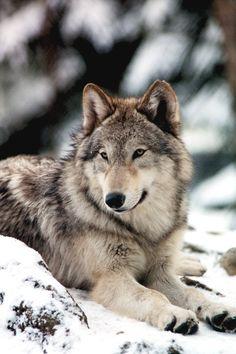 Honey graham human alpha male cookies - love 'me. Wolves delight, I wolf 'em down!