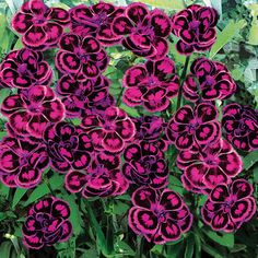 "Dianthus 'Tropical Butterfly'  Carnation  Hardy Perennial  Customer favourite  Delight your senses with this scintillating dianthus. Its breathtaking beauty is matched only by the power of its fragrance. Exotic, bicolour blooms carried above mounds of silver-green foliage lend a tropical feel to perennial borders and containers, producing an abundance of perfumed dianthus flowers for cutting. Height: 40cm (16""). Spread: 30cm (12"")."