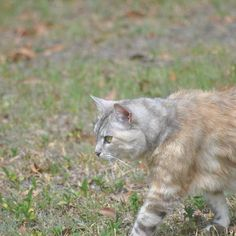 Luna walking... 3/3    #luna #cat #cats #pet #petstagram #nature #kitten #kittens #catstagram #cutie #pets #kitty #catlovers #catsofinstagram #animal #sweet #funpetlove #catlover #ilovemycat #ilovemypet #instapets #petsagram #picpets #instacat #love #music #faces #coffee