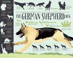 German Shepherd dog infographic--some basic info for anyone interested in owning one of these intelligent working dogs. Hoping to find a larger image of this.