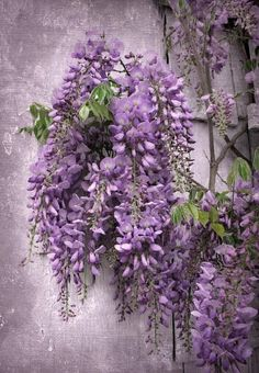 photo ... wisteria ... looks almost like a painting ...