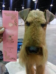 Airedale head grooming