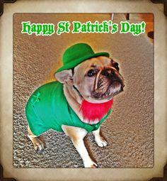Roxy wishing you a Happy St. Patrick's Day.  French Bulldog.