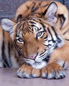 ~~Malayan Tiger Cub by Ron Parish~~