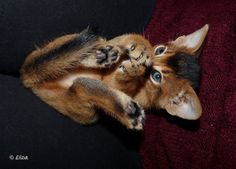Magical Nature Tour — magical-meow: (via True evil never stops plotting…. Cute Kittens, Cats And Kittens, Cute Baby Animals, Animals And Pets, Abyssinian Kittens, Cute Animal Pictures, Beautiful Cats, Cat Love, Crazy Cats