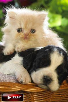 #CuteCatsKittensVideo Funny cats Videos Vines 2016 Cute kittens doing funny…