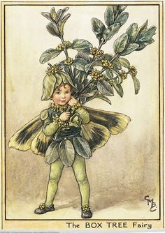 Illustration for the Box Tree Fairy from Flower Fairies of the Winter. A small boy fairy stands facing front holding up a sprig of box.    Author / Illustrator  Cicely Mary Barker