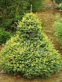 Picea omorika 'Peve Tijn' - serbiankuusi