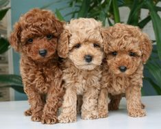 Cockapoo puppies - beautiful, animals et dogs image sur We Heart It Cute Little Animals, Cute Funny Animals, Cockapoo Puppies, Goldendoodles, Labradoodles, Toy Poodle Puppies, Toy Goldendoodle, Toy Poodles, Toy Poodle Red
