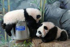 Go away! Nelson is mine!   Mei Huan and Mei Lun - 12/30/13   Flickr