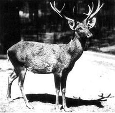 """(Source: """"SchomburgksDeer-Berlin1911"""" by Lothar Schlawe) 1938 — Schomburgk's Deer, Rucervus schomburgki"""