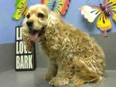 ★★AT RISK FOR EUTHANASIA★★ PER SHELTER, NEEDS AN ADOPTER OR RESCUE COMMITMENT BY NOV 29TH  #A442880 MORENO VALLEY, CA female, buff Cocker Spaniel....  : City of Moreno Valley Animal Control Services. https://www.facebook.com/135559229932205/photos/a.382565775231548.1073741961.135559229932205/386065698214889/?type=3&theater