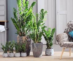Robuste Zamioculcas – Pflanzenfreude.de