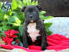 Star – American Bully Puppy www.keystonepuppies #keystonepuppies  #americanbully