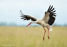 White Stork -- Can't you just see  him carrying a baby in a blanket?