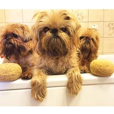Bath time with my three monkeys. #brusselsgriffons